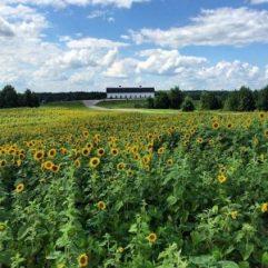 LCCB-Sunflower-Field-300x300